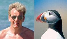 Gordon Ramsay 1, Icelandic Puffins -4