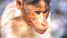 Monkeys love celebrities too