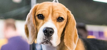 Miss P the beagle won Westminster KC's Best in Show: grumpy & gorgeous?