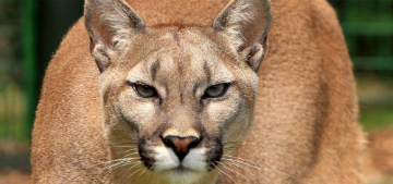 A mountain lion attacked a toddler in an Orange County, CA park