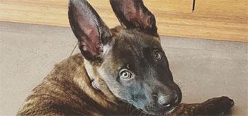 Channing Tatum adopted a new Dutch Shepherd puppy he named Rooklin