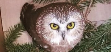 There was a stowaway owl in Rockefeller Center's Struggle Christmas Tree