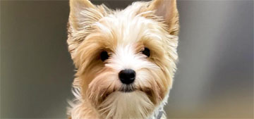 American Kennel Club recognizes new toy dog breed, the Biewer Terrier