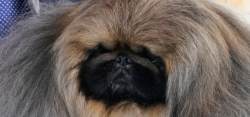 Wasabi the Pekingese won Best In Show at the Westminster Kennel Club dog show