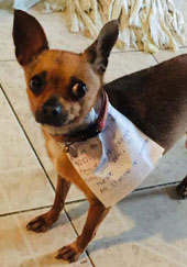 Chihuahua with note on his collar