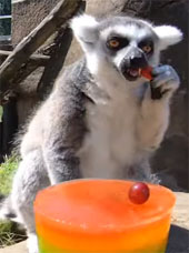 Lemur eating popsicle